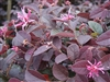 LOROPETALUM ZHU ZHOU-Reddish Pink blooms Flowering Shrub Zone 7