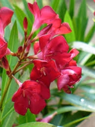 OLEANDER 'HARDY RED'-BRIGHT RED CLUSTER BLOOMS 6-12 FEET ZONE 8