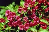 Weigela Red 'Vaniceki'-RED REBLOOMING WEIGELA Decidious Shrub Zone 5