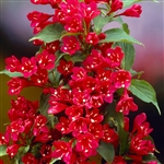 Red Prince Weigela-Weigela florida 'Red Prince' Flowering Deciduous Shrub Zone 4