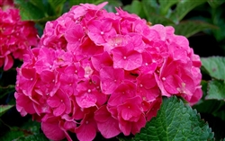 Charm Red Hydrangea-Hydrangea Macrophylla Charm Red Zone 4