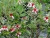 PINEAPPLE GUAVA-Feijoa sellowiana Blooming Fruiting Shrub Z 8-10