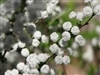 SPIREA 'Reeves'  BRIDAL'S WREATH SPRING WHITE BLOOMING HARDY SHRUB Z=3-9