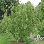 CORKSCREW WILLOW-Salix matsudana 'Tortuosa'-Green Foliage  Zone 4