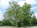 AMERICAN SYCAMORE  Platanus occidentalis Zone 4