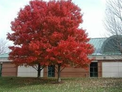 Maple Red Maple-Acer rubrum Red Fall Foliage Z 3