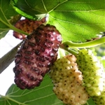 RUSSIAN MULBERRY-Morus Alba 35-80 Feet  Zone 5