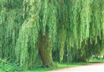 WILLOW WEEPING WILLOW-Salix babylonica-Green Foliage  Zone 5