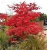 RED-LEAF JAPANESE MAPLE-ACER PALMATUM ATROPURPUREUM  Zone 5-8