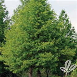 BALD CYPRESS-Taxodium distichum Zone 4