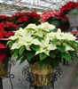 WHITE POINSETTIA-Euphorbia pulcherrima-Annual Holiday Plant Zone 9+ Tropical