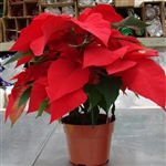 RED POINSETTIA-Euphorbia pulcherrima-Annual Holiday Plant Zone 9+ Tropical