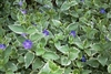 Variegated Big Leaf Periwinkle-Vinca major 'Variegata' Vining Ground Cover Zone: 6