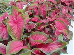 FLORIDA SWEETHEART CALADIUM- caladium Annual Zone:  8+