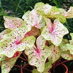 MISS MUFFET CALADIUM- Caladium Annual Zone:  8+