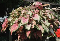 Blushing Bride Caladium-Caladium 'Blushing Bride' Perennial Zone:  8+