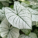 WHITE CHRISTMAS CALADIUMS-Fancy Caladium Annual  Zone:  8+