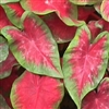 POSTMAN JOYNER CALADIUMS-Fancy Caladium Annual  Zone:  8+