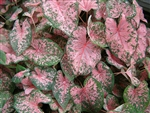 PINK BEAUTY CALADIUM-Fancy Caladium Annual  Zone:  8+