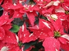 JINGLE BELLS POINSETTIAS-Euphorbia pulcherrima-Annual Holiday Plant Zone 9+ Tropical