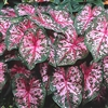 CAROLYN WHORTON CALADIUM-Fancy Caladium Annual  Zone:  8+