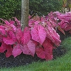 FANNY MUNSON CALADIUM-Fancy Caladium Annual  Zone:  8+