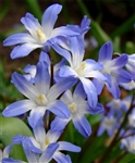 Glory of the Snow-Chionodoxa forbesii Bulb Perennial 'Blue Giant' Zone 2