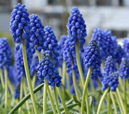 Muscari Latifolium Armeniacum Bulb Perennial Flower Blue