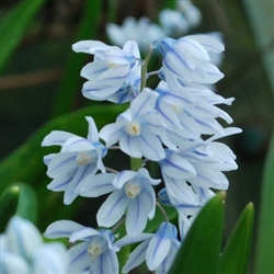 PUSCHKINIA LIBANOTICA-STRIPED SQUILL Bulb Perennial Bloom White with Blue Stripe Zone:  3