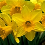 DAFFODIL LARGE CUP CARLTON-Narcissus Bulb Perennial Blooms Yellow Zone:  3