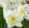 DAFFODIL LARGE CUP ICE FOLLIES-Narcissus Bulb Perennial Blooms White Ruffled Yellow Center Zone:  2