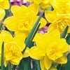 DAFFODIL DOUBLE GOLDEN DUCAT-Narcissus Bulb Perennial Blooms Multiple Yellow Petals Zone:  2