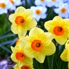 DAFFODIL LARGE CUPPED FORTUNE-Narcissus Bulb Perennial Blooms Yellow with Orange Cups Zone:  3