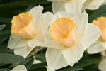 DAFFODIL LARGE CUPPED SALOME-Narcissus Bulb Perennial Blooms White with Pale Yellow Cup Zone:  3