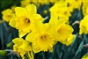 DAFFODIL TRUMPET DUTCH MASTER-Narcissus Bulb Perennial Blooms Yellow with Ruffled Cup Zone:  4