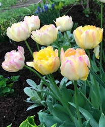 TULIP DOUBLE LATE UPSTAR-Tulipa Bulb Perennial Blooms Pale Yellow with Green and Magenta Edges  Zone:  3