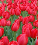 TULIP DARWIN HYBRID OXFORD-Tulipa Bulb Perennial Blooms Bright Red Zone:  3