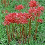 Red Spider Lily-Southern Heirloom Triploid- Lycoris radiata Bulb Perennial Blooms Red   Zone:  6-10