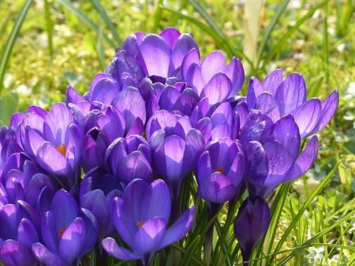 Crocus Flower Record Crocus Vernus Lavender Bulb
