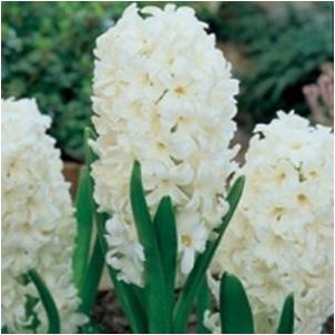 Hyacinthus Standard Carnegie Bulb Perennial White Flowers Fragrant Zone 4