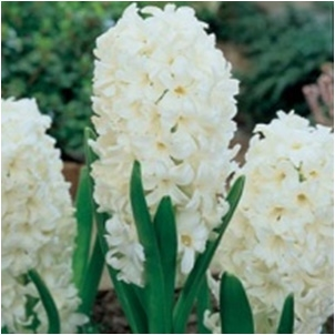 Hyacinthus Standard Carnegie Bulb Perennial White