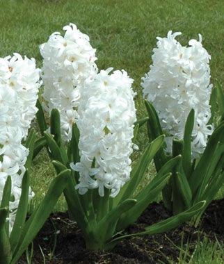 Bulb Perennial White Flowers Fragrant