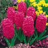 HYACINTHUS STANDARD JAN BOS-Bulb Perennial Red Flowers Fragrant Zone:  4