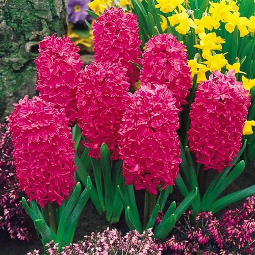Hyacinthus standard jan bos bulb perennial red flowers fragrant zone 4 mightylinksfo