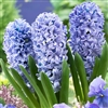 HYACINTHUS STANDARD DELFT BLUE-Bulb Perennial Lavender Blue Flowers Fragrant Zone:  4