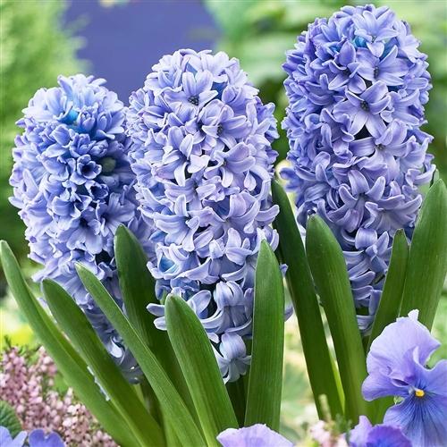 Hyacinthus Standard Delft Blue Bulb Perennial Lavender