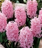 HYACINTHUS STANDARD PINK FROSTING-Bulb Perennial Flower Pink Zone:  4