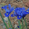 Iris reticulata Harmony-Bulb Perennial Flower Blue and Yellow Zone:  3