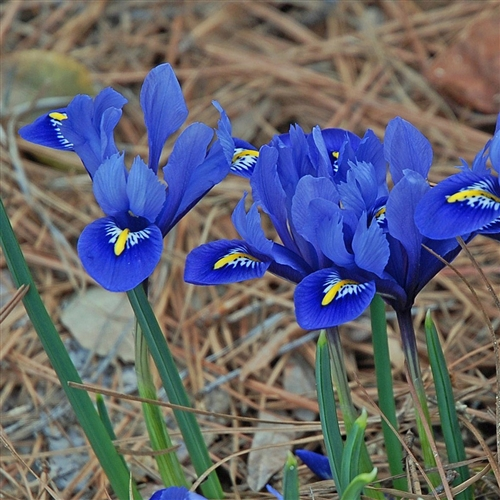 Iris reticulata harmony bulb perennial flower blue and yellow zone 3 mightylinksfo