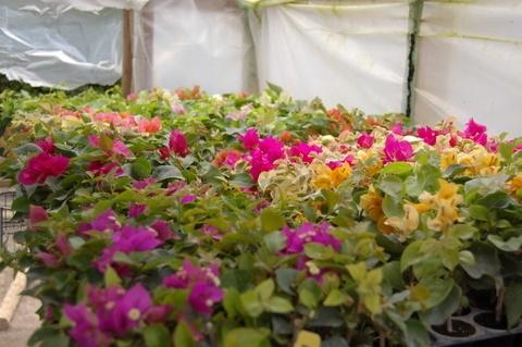Bougainvillea Plants For